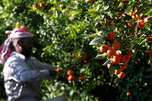 Man harvests oranges