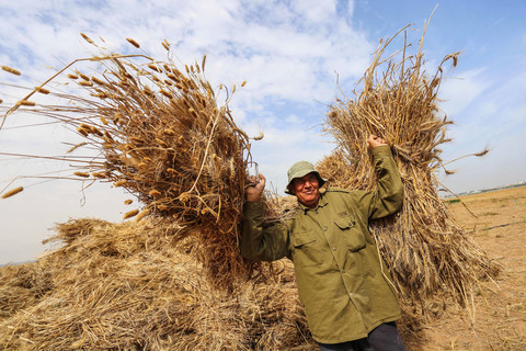 Man carrying stacks of wheat