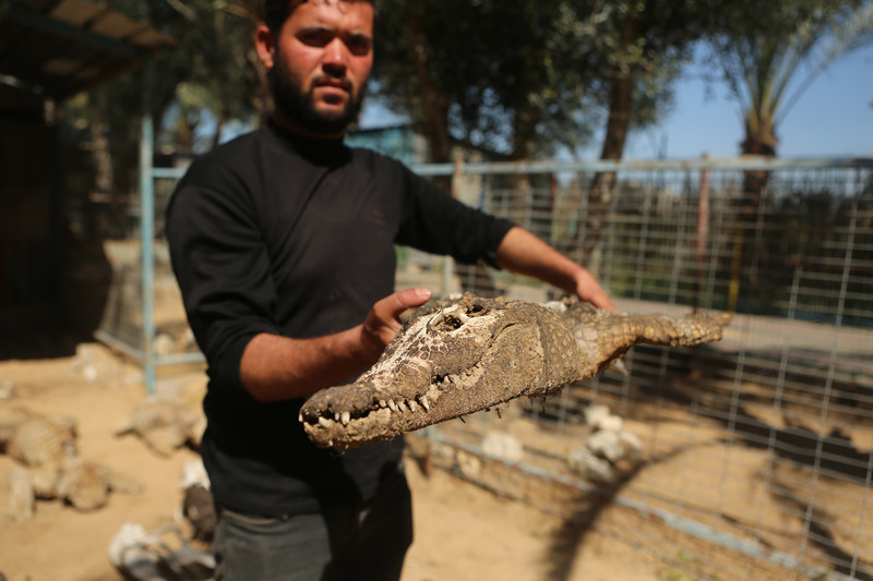 Man holds up dried head of alligator or crocodile