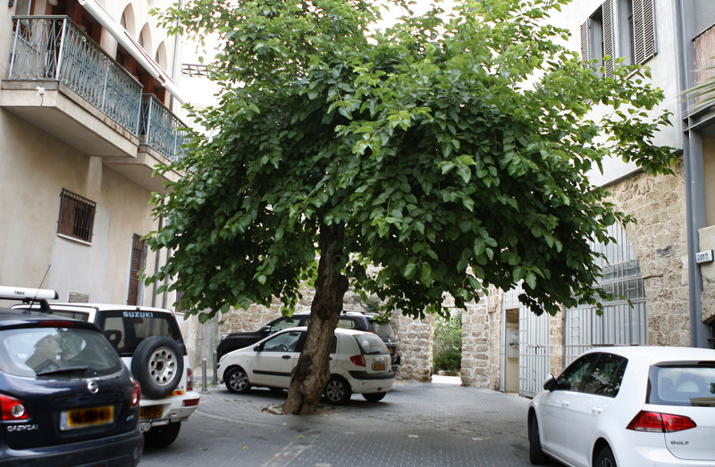 A large tree in middle of pavement surrounded by cars and buildings