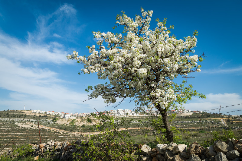 Flowering tree stands in front of landscape with Israeli settlement on horizon