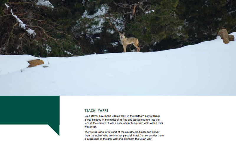 Screenshot of exhibition catalogue showing photograph of wolf in a forest with caption describing it as northern Israel