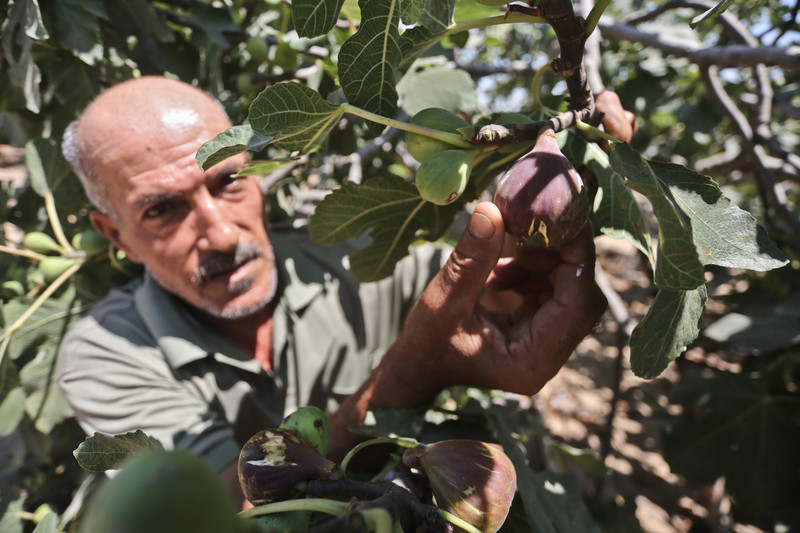 Man holds ripe fig hanging from tree