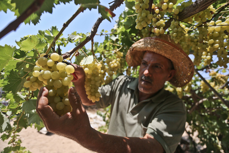 Man wearing hat holds bunch of grapes hanging from a vine