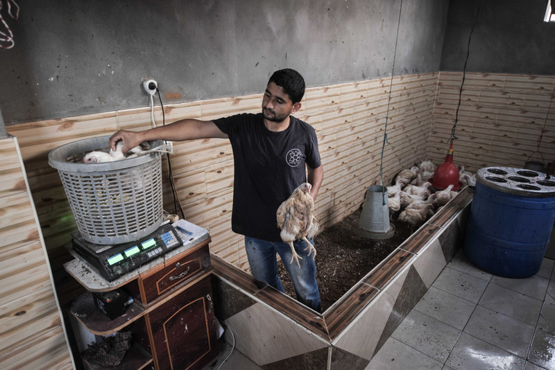 Muhammad al-Najjar stands in poultry pen while holding a chicken in one arm while placing a chicken on a scale with his other arm