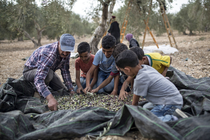 A man and five young boys collect olives together.