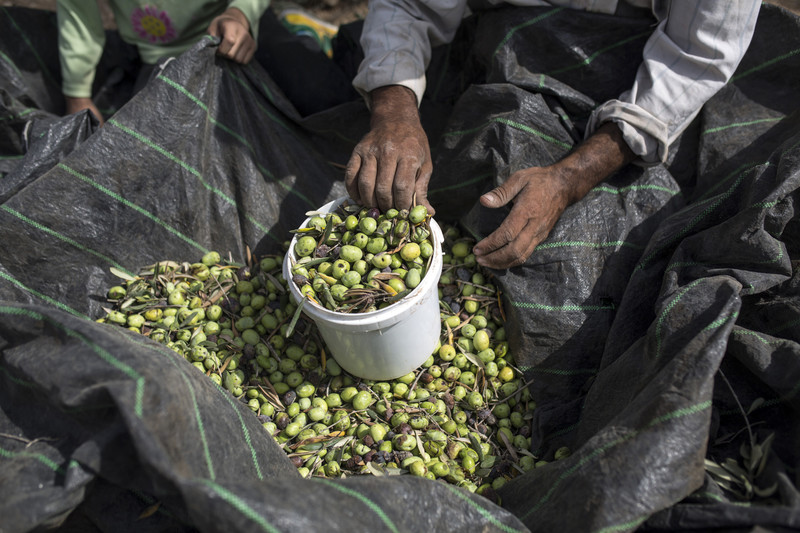 A woman holds a bucketful of freshly picked olives