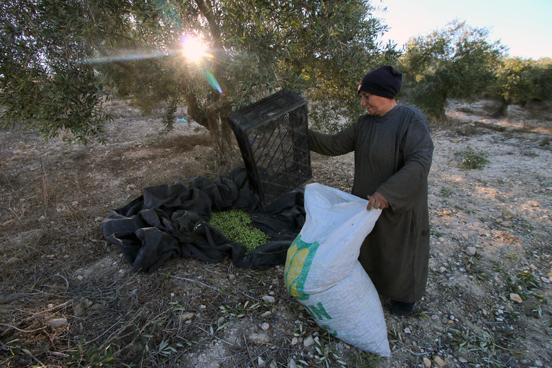 A woman empties a box of freshly picked olives into a sack.