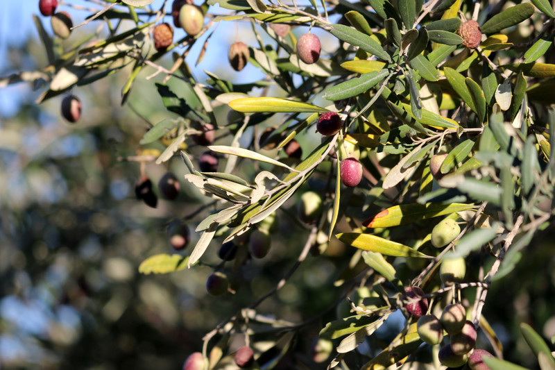 Olives on a branch, ready for picking.