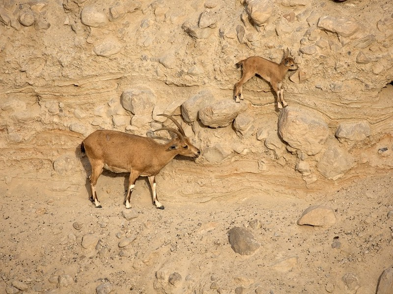 Two Nubian ibex climb on rocky terrain