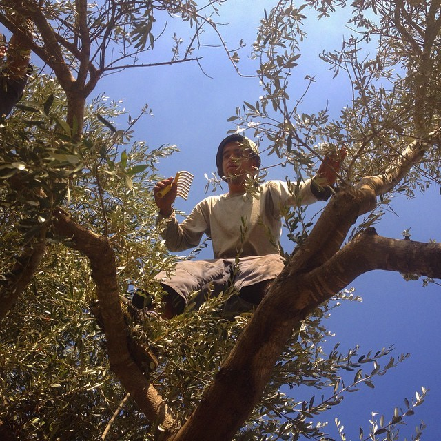 Climbing the tree for the more difficult olives #3zbetSalman #palestine on Instagram