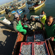 Men unload crates of small fish from boats at harbor