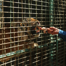 Man feeds piece of flesh to caged tiger