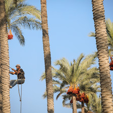 A man climbs a palm tree with a rope tied around his waist.