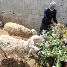 Farmer stands beside sheep who are eating flowers