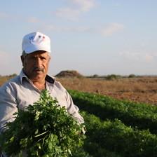 Farmer gathers crops