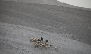 A shepherd walks with his herd of sheep.