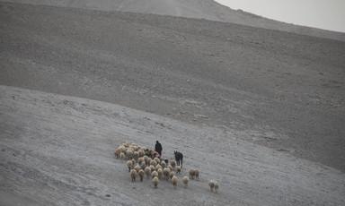 A shepherd walks with his herd of sheep.