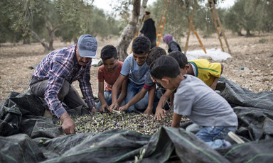 A man and five young boys sort through olives spread out on a plastic tarp