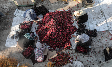 Women sitting around and sorting a pile of ripe dates